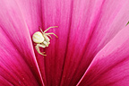 Crab spider on Cosmos flower in a garden Correze France (Goldenrod Spider)