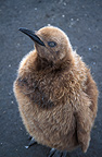 Young King Penguin in the snow Beach of St Andrew (King penguin)