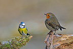 Blue Tit and European Robin (Blue Tit; European Robin)