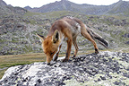 Red Fox smelling the ground Gran Paradiso Peak NP Italy (Red fox)