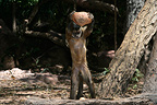 Brown capuchin breaking open nut with stone Brazil (Brown capuchins)