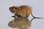 Common Muskrat on ice in winter (Common Muskrat)