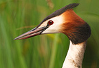 Portrait of a Great Crested Grebe on a pond of Mayenne  (Great Crested Grebe)