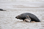 Two bulls Grey seal fighting in the surf on seashore GB (Gray seal)