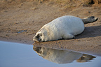 Pup Grey seal sleeping close to a pool Lincolnshire GB (Gray seal)