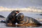 Two young males Grey seal playfighting Lincolnshire GB (Gray seal)