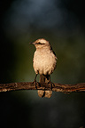 Chalk-browed mockingbird on a branch Brazil (Chalk-browed mockingbird)