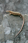 Common Lizard on rock Dorset England