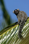 Common marmoset on palm leaf Brazil (White-tufted-ear marmoset)