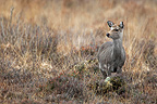Female Sika deer in the tall grass GB  (Sika deer)