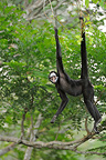 White-whiskered Spider Monkey hanging from a branch Brazil (White-whiskered spider monkey)