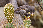 Common Cactus Finch eating a flower of geant cactus (Common Cactus-Finch)