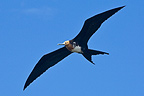 Greater Frigatebird Island of San Cristobal (Great Frigatebird)