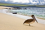 Brown pelican on the beach Galapagos San Cristobal Island (Brown pelican)