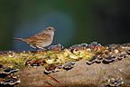 Dunnock on a branch covered with mushrooms (Dunnock)