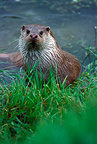 European otter on the bank of a river GB� (European otter)