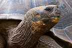Portrait of a Galapagos Giant Tortoise Galapagos Islands  (Galapagos giant tortoise)