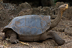 Portrait of a Galapagos Giant Tortoise Galapagos Islands� (Galapagos giant tortoise)