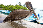 An immature Brown Pelican on the Santa Cruz Island (Brown pelican)