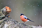 Male bullfinch on a branch when snowing (Bullfinch)