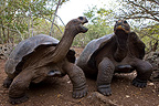 Galapagos giant tortoise from the island of San Cristobal (Galapagos giant tortoise)