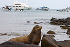 Sea lions in the Galapagos island port Galapagos islands (California sea lions)