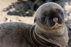Portrait of a young sea lion Galapagos  (California sea lions)