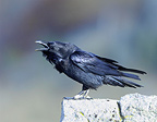 Raven on a rock screaming Bulgaria� (Raven)