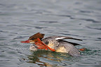 Female goosander scratching itself on water Switzerland (Goosander)