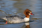 Female goosander swimming on the Lake Genova Switzerland (Goosander)