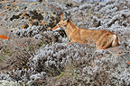 Ethiopian wolf (Simian jackal) resting in Bale Mountains Ethiopia (Simian jackal)