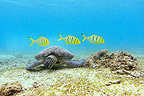 Green turtle grazing and young royal yellow jack (Green sea turtle)