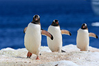 Penguins Papuan joining their colony Antarctica (Gentoo penguin)