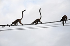 Mayotte brown lemurs on Mayotte power line  (Brown Lemur)