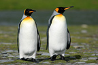Adult king penguins resting Antarctic Peninsula (King penguin)