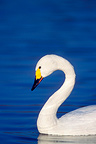 Portrait of Bewick's swan on water Great Britain (Bewick's Swan)