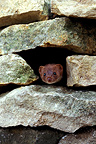Weasel outgoing the head of a hole in a wall made of stones (Least weasel)