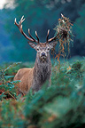 Stag Red deer standing in ferns (Red deer)