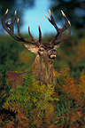 Stag Red deer among the ferns (Red deer)