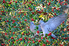 Wood pigeons eating berries of holly (Wood Pigeon)