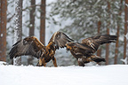 Golden eagles fighting in a clearing Finland� (Golden Eagle)
