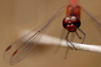 Scarlet Dragonfly on a twig Aquitaine France