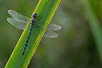 Migrant Hawker on a leave of Iris Brenne Centre France
