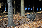 Young Wild boar running in forest Belgium (Wild boar)