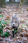 Young Wild boar with an old bone in forest Belgium (Wild boar)