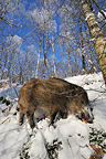 Young Wild boar standing in the snow Belgium (Wild boar)