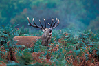 Male Red deer roaring standing in ferns Great Britain (Red deer)