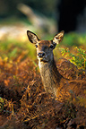Portrait of red deer hind standing in the ferns Great Britain (Red deer)