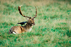 Fallow deer lying with a Jackdaw on the back Great Britain (Fallow Deer)