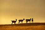 Herd of young Fallow deers in a clearing Great Britain (Fallow Deer)